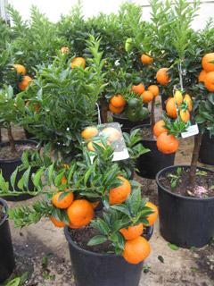 Agrumi ornamentali in vaso for Piante di agrumi vendita
